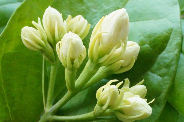 Nụ hoa bụ bẩm nhưng yếu đuối