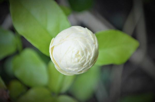 Vụ hoa nhài chớm nở