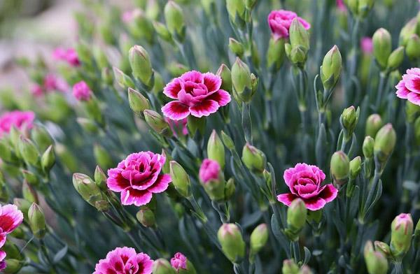 Cách trồng để hoa ra đẹp