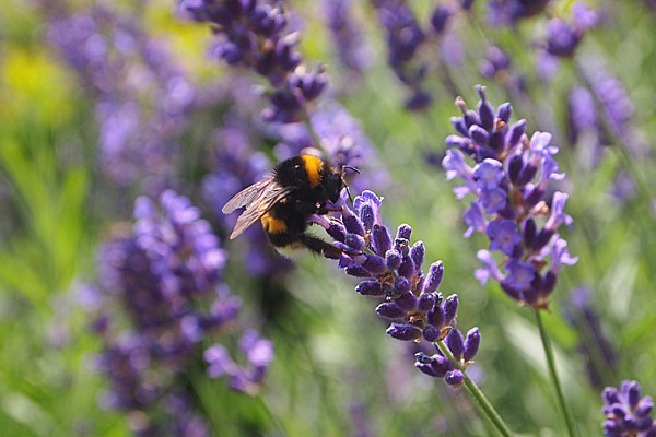 Chú ong trên nhánh hoa