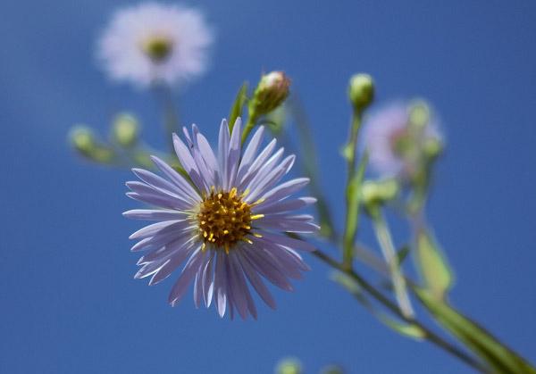 Hoa thạch thảo khoe sắc mùa hè
