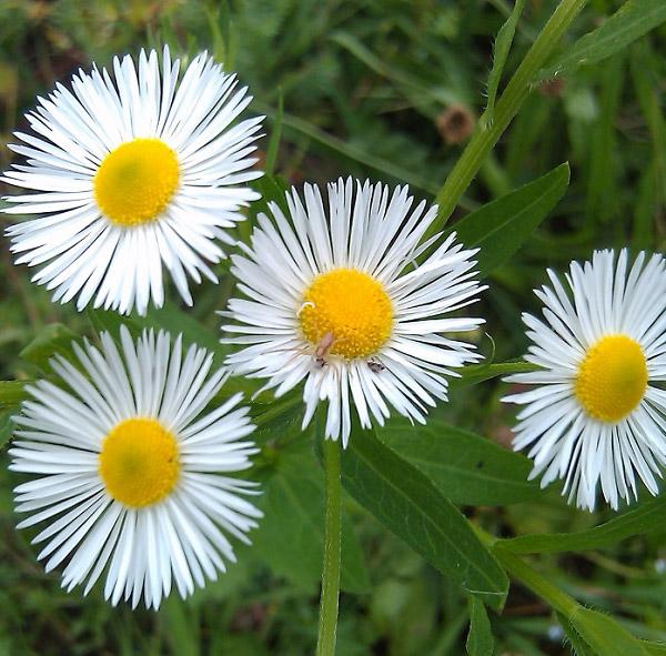 Thạch thảo trắng quyến rũ