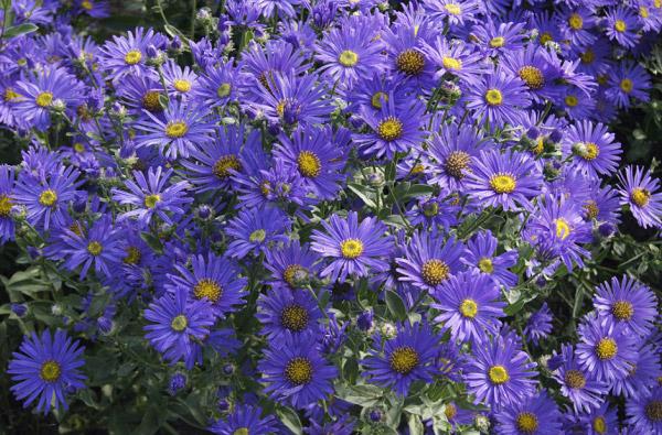 Thạch thảo xanh lavender và biểu tượng