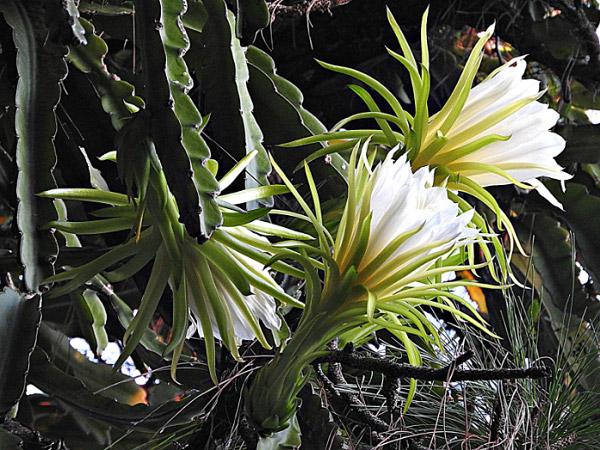Thanh long cũng là một loại thuộc giống hoa quỳnh