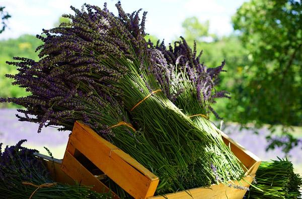 Những bó lavender sau khi thu hoạch