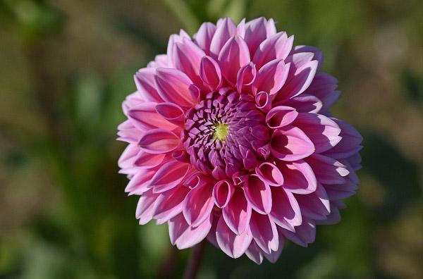 Thược dược màu tím hồng