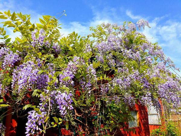 Bụi hoa mọc trên mái nhà