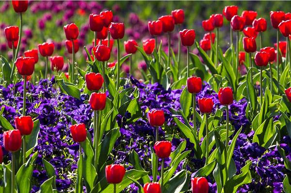 Hoa tulip đỏ