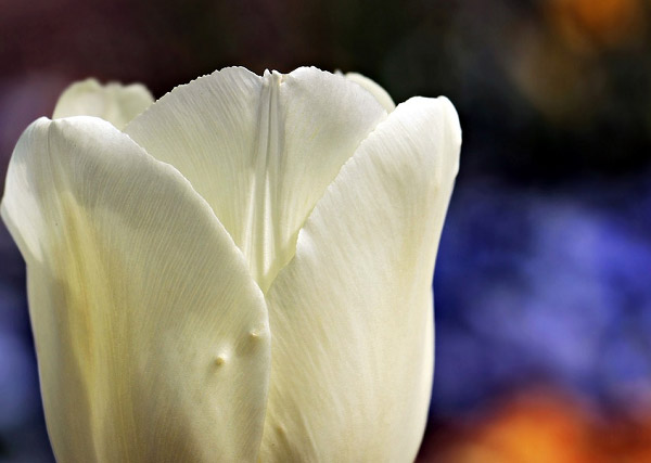 Hoa tulip màu kem