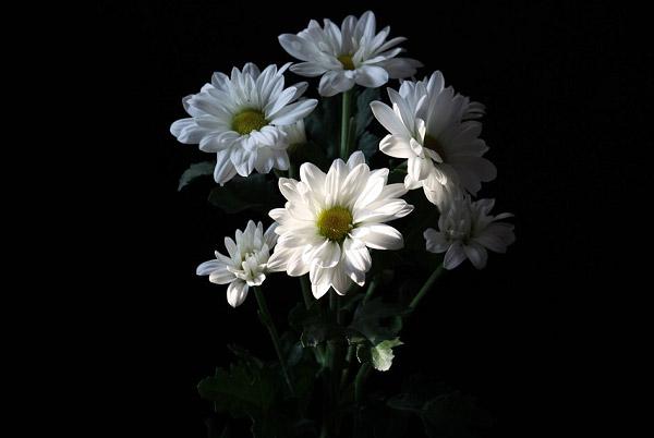 Vẻ đẹp tinh khiết của cúc trắng