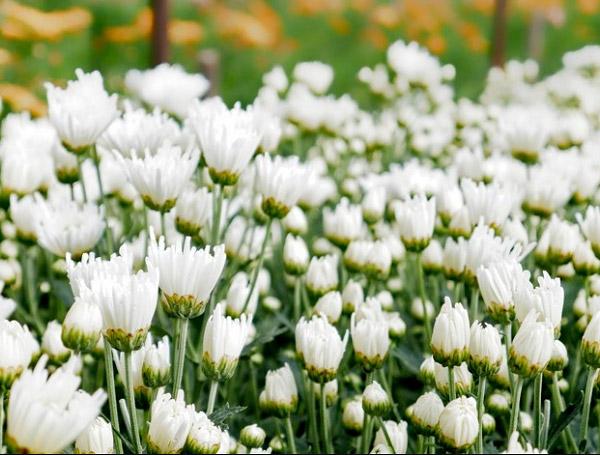 Vườn cúc trắng