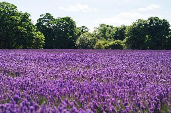 Vườn lavender đẹp