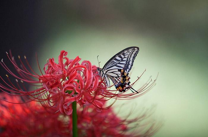Hoa bỉ ngạn đẹp cùng cánh bướm