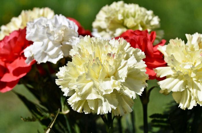 Hoa Cẩm Chướng là gì? Ý nghĩa của hoa Cẩm Chướng bạn nên biết