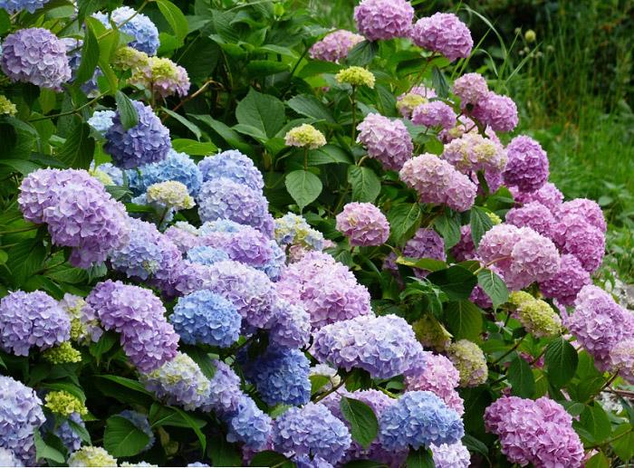 Những bông hoa cẩm tú cầu