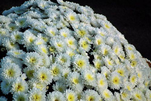 Ý nghĩa của hoa cúc và những công dụng đối với con người