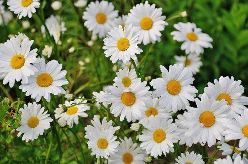 Những ý nghĩa của hoa cúc trắng có thể bạn chưa biết