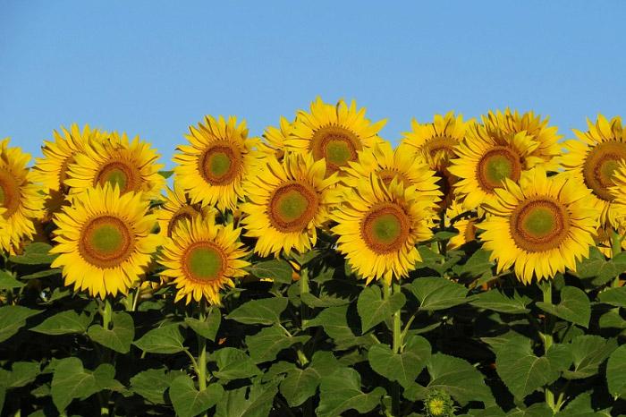 Ý nghĩa hoa hướng dương và những hình ảnh đẹp