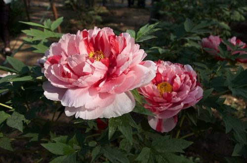Ý nghĩa hoa mẫu đơn và những câu chuyện về loài quốc sắc thiên hương này