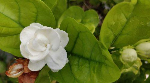 Hoa nhài – Loài hoa mang nhiều ý nghĩa độc đáo và tác dụng tuyệt vời