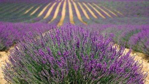 Ý nghĩa độc đáo của hoa oải hương (Lavender)