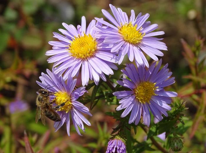 Cành hoa thạch thảo màu tím nhạt