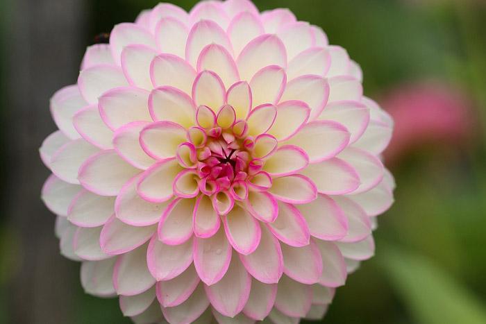 Hoa thược dược tổ ong trắng với viề hoa màu hồng