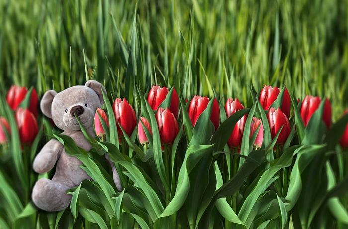Hoa tulip và gấu bông