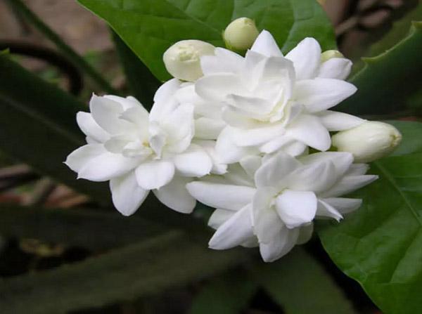 Những ý nghĩa về phong thủy của hoa nhài