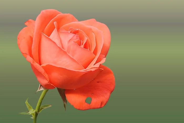 Ảnh chụp cận cảnh bông hồng màu cam