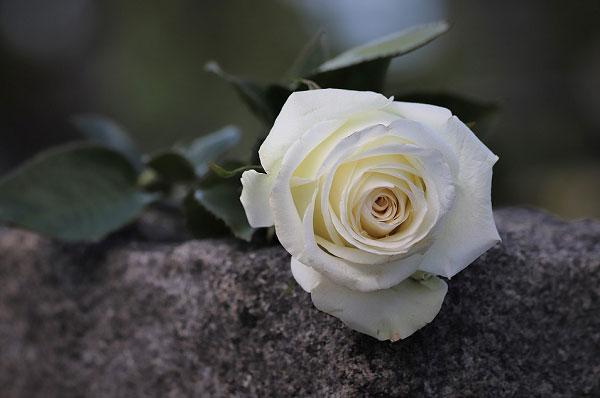 Hình ảnh hoa hồng trắng nghệ thuật