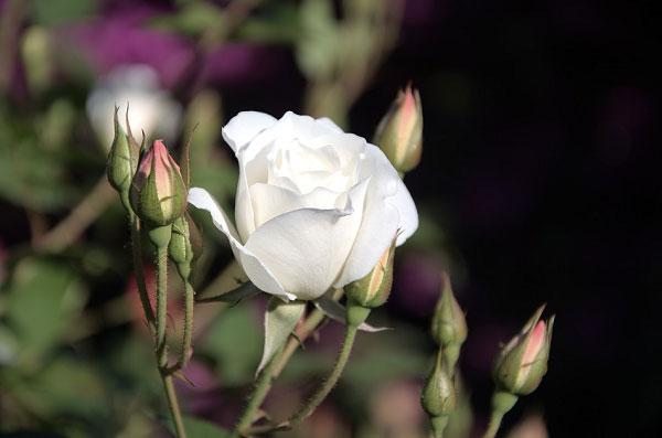 Một bông hoa với những nụ hoa xung quanh