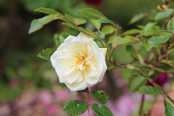 Bông hồng trắng mỏng manh