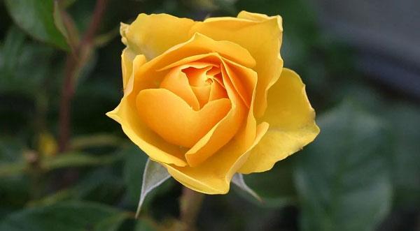 Những ý nghĩa của bông hồng vàng tại nhiều quốc gia trên thế giới