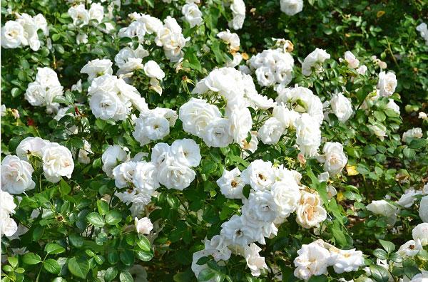 Hoa hồng trắng mang nhiều ý nghĩa kể cả tích cực và tiêu cực