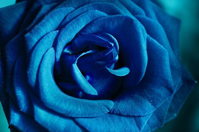 Hình chụp cận cảnh 1 bông hồng xanh