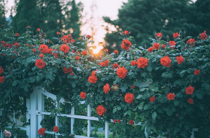 Cánh cổng hồng leo