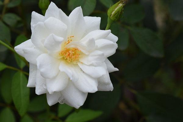 Cánh hoa trắng tinh khôi