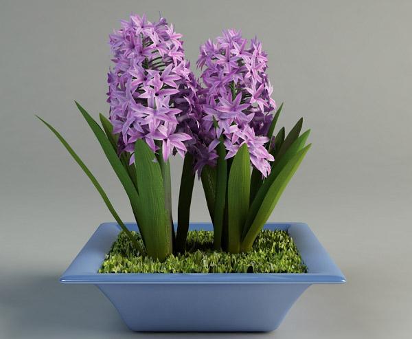 Chậu hoa dạ lan hương đẹp