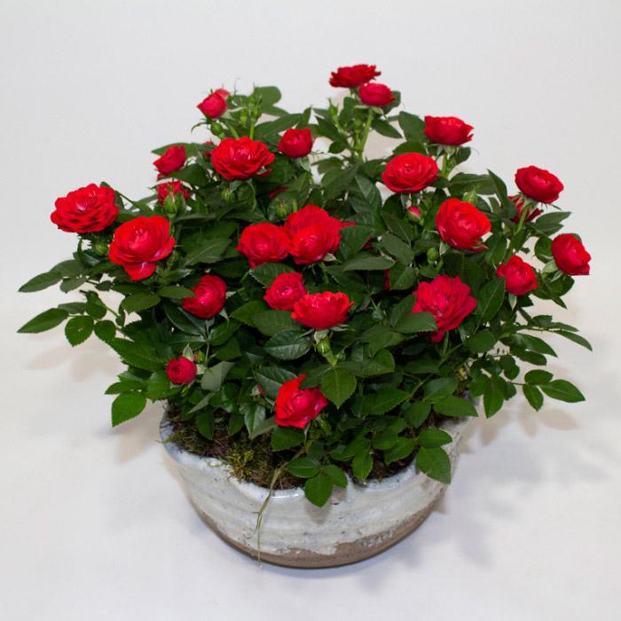 Chậu hoa hồng đỏ