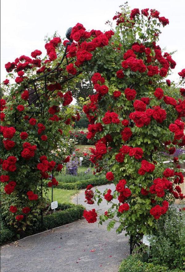 Cổng hoa hồng đỏ rực
