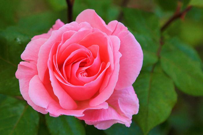 Những đặc điểm của hoa hồng