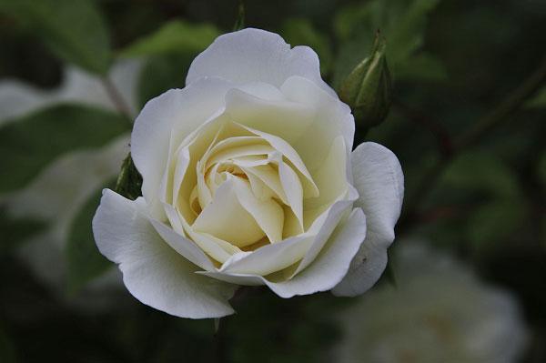 Hình ảnh hoa hồng trắng mới chớm nở