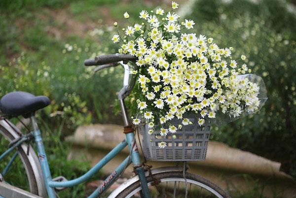 Hoa cúc hoa mi và chiếc xe đạp