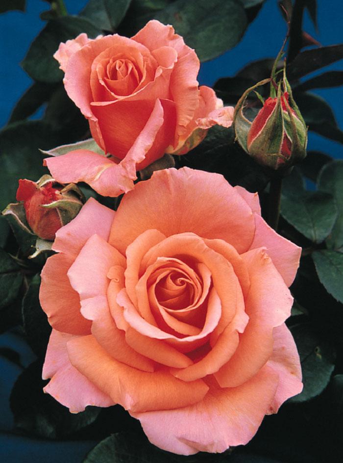 Hoa hồng màu cam ấm áp