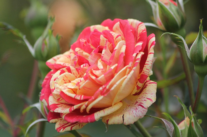 Hoa hồng tía
