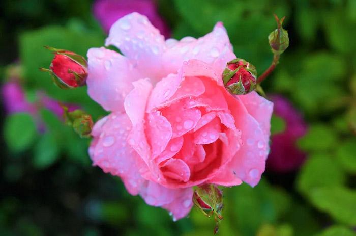 Hoa hồng tím nhạt