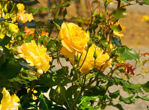 Hoa hồng vàng nở rực rỡ dưới ánh nắng