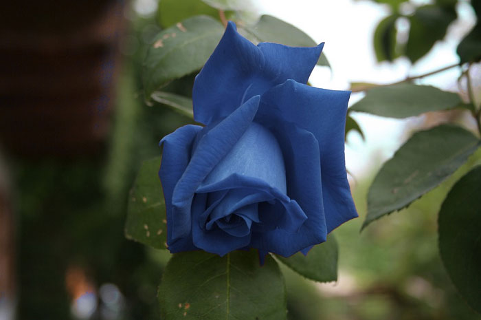 Hoa hồng xanh tự nhiên