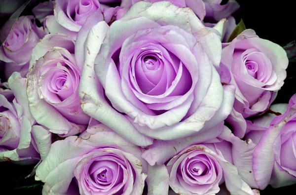 Hoa tím là món quà tuyệt vời để tặng bạn bè, người thân